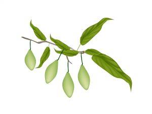 Haritaki herb from the tree Terminalia Chebula