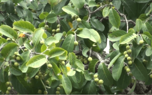Haritaki tree. Benefits of Haritaki include clearing constipation