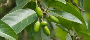 Haritaki, Terminalia chebula, is a yogic super food known for it mystical properties