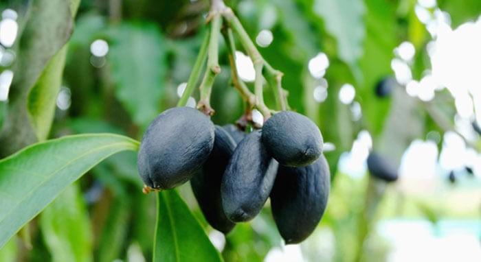 Iranian haritaki fruit on the tree